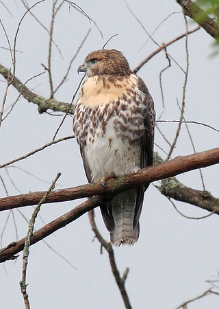 Red-tailed Hawk at North Branch.
