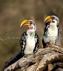 Eastern Yellow-billed Hornbills