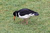 IMG_1120 Oystercatcher on lawn SM