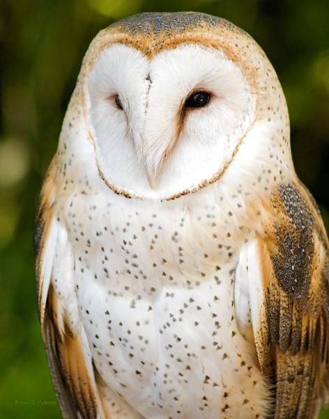 Captive Barn Owl, Tyto alba, at the Point Defiance Zoo and Aquarium in Tacoma, Washington.