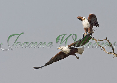 African Fish Eagle Pair in Flight #1