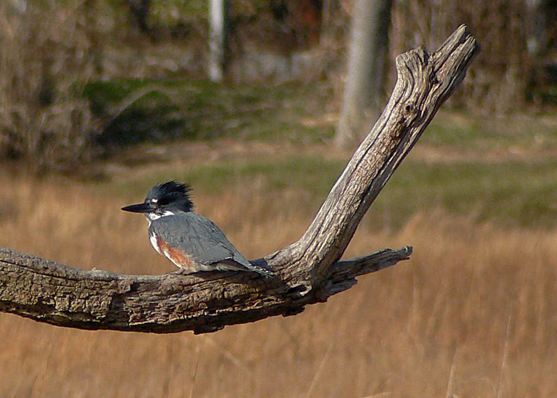Belted Kingfisher at the Marine Nature Study Area in Oceanside.