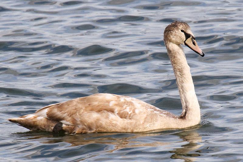 Immature Mute Swan.