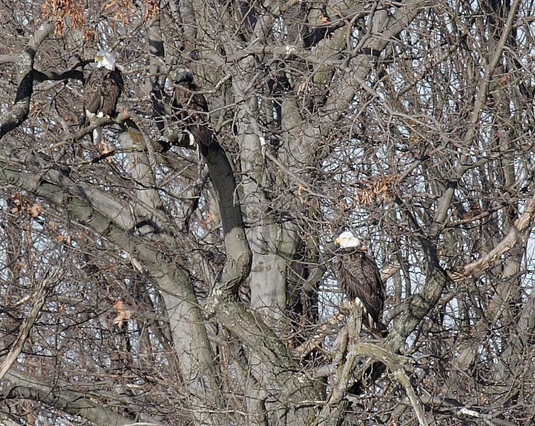 Bald Eagles at Oscawanna Is. Preserve along the Hudson River.