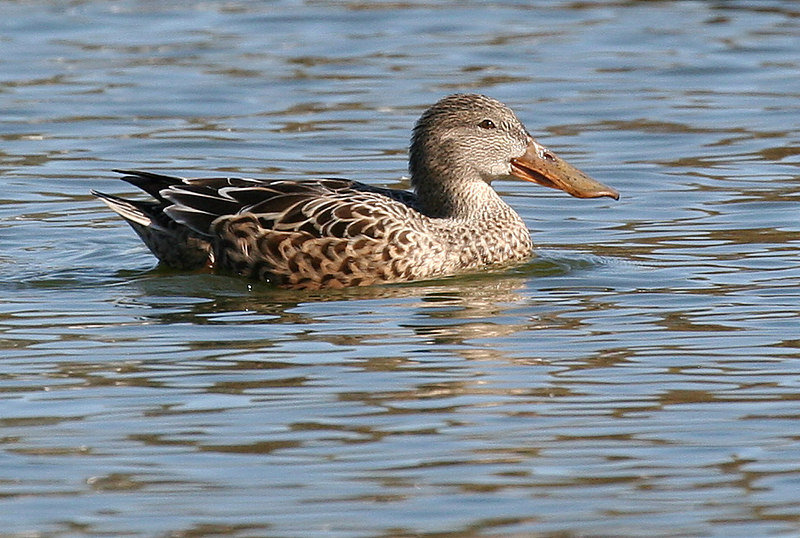 Female Northern Shoveler.
