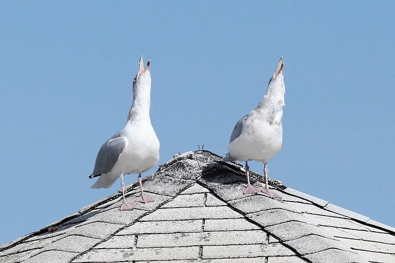 Singing (laughing?) Gulls.