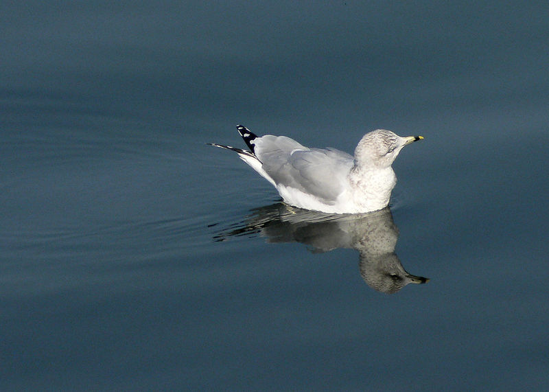 Gull reflections.