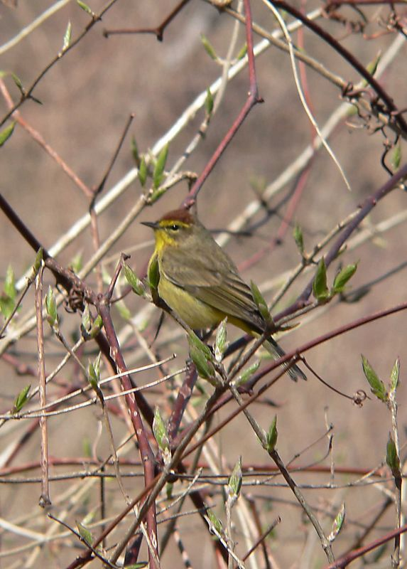 Palm Warbler (I think).
