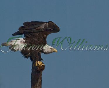 Eagle on perch #1