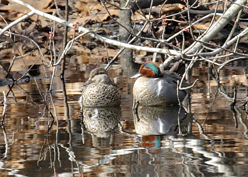 A pair of Green winged Teal