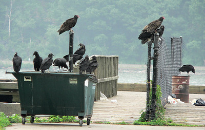 Black Vultures with 2 Turkey Vultures at the dock at Bear Mt,