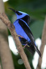 Red-Legged Honeycreeper. Seen at Magic Wings Butterfly House, Durham NC.