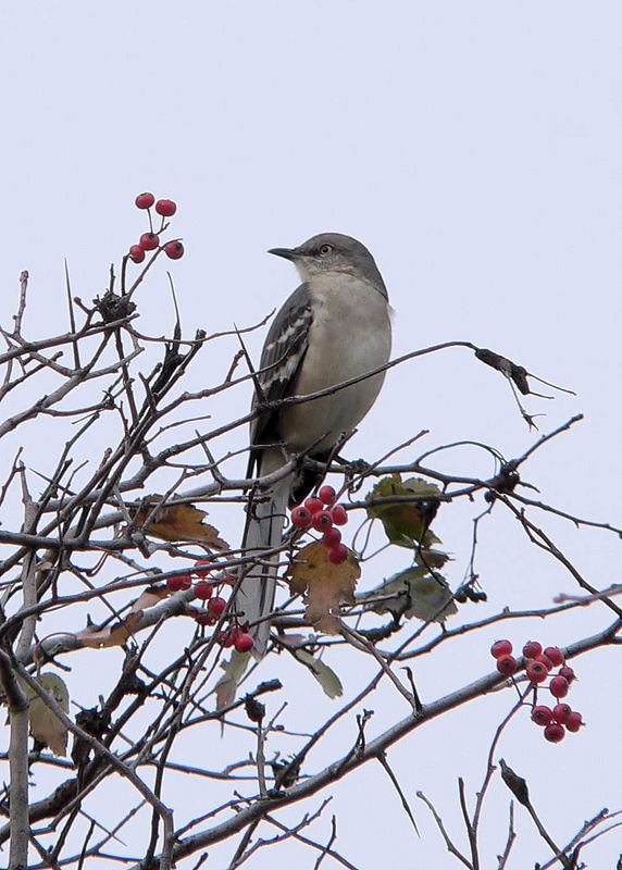 Mockingbird at Cow Meadow Park.