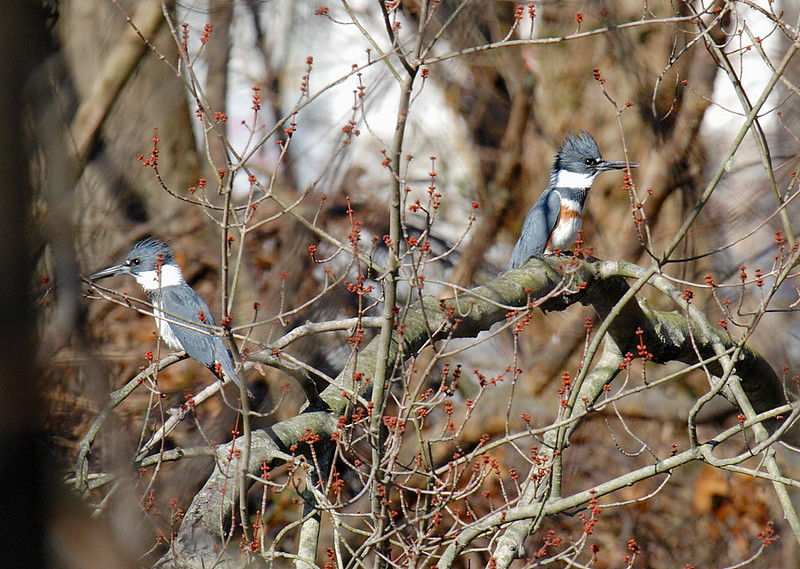 Belted Kingfishers. Female on the right.