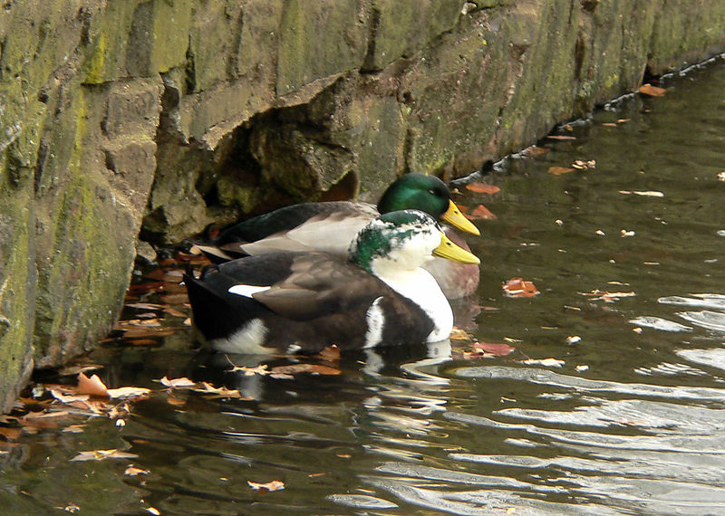 A hybrid Mallard hanging out with a standard Mallard.