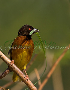 Brown-capped weaver