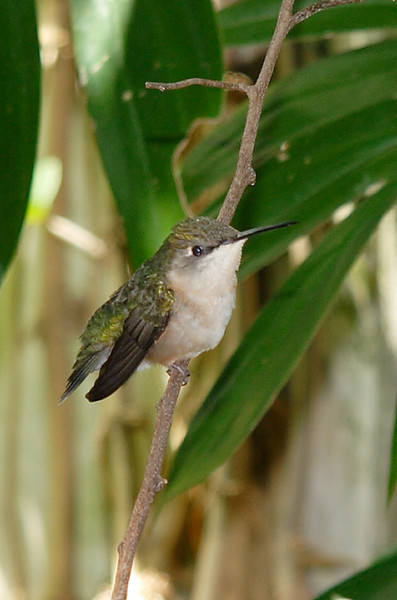 Female Ruby-throated Hummingbird.