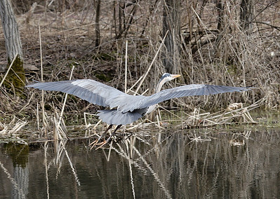 Great Blue Heron in flight.