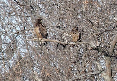 Immature Bald Eagles at Oscawanna Is. Preserve along the Hudson River.