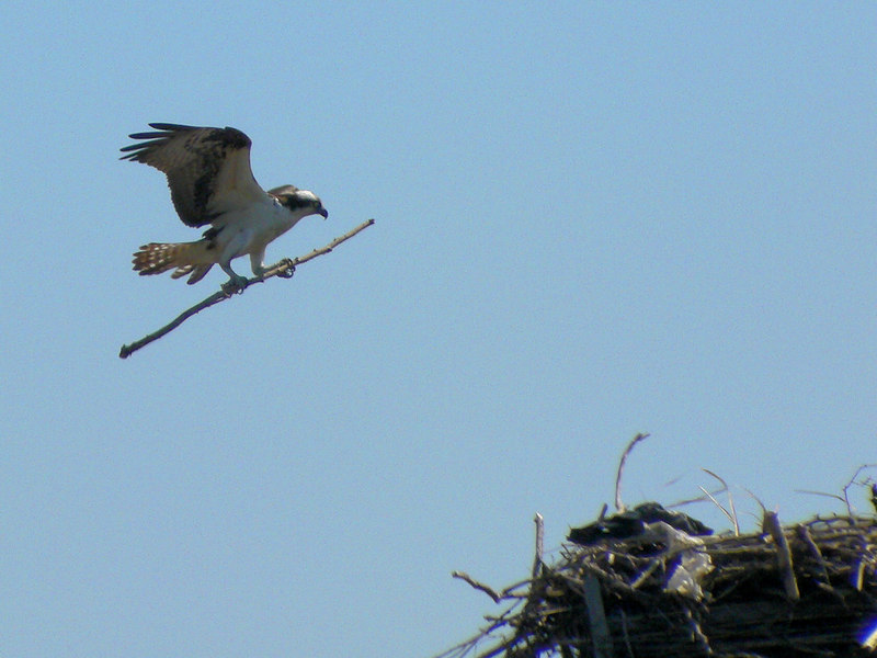 Working on the nest at the Oceanside Marine Nature Study Area.
