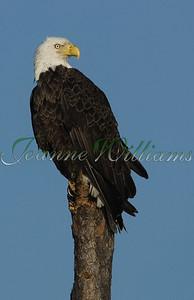 Eagle0031#1