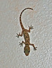 IMG_3949 Gecko in apartment SM