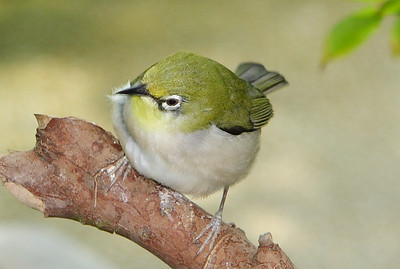 Oriental White-eye. Seen at the Magic Wings Butterfly House, Durham NC.