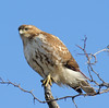 Red-tailed Hawk at Metro North Croton Harmon Station