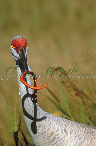 Sandhill Crane with Snake