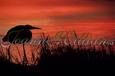 Great Blue silhouette