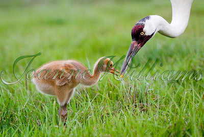 Whooping Crane & Chick