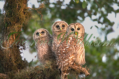 3 Barred Owl Chicks