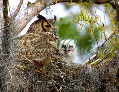Horned Owl & Chick