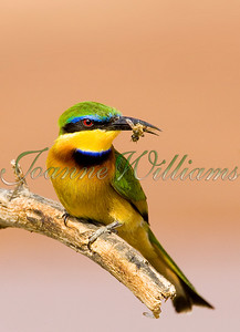 Little bee-eater with bee