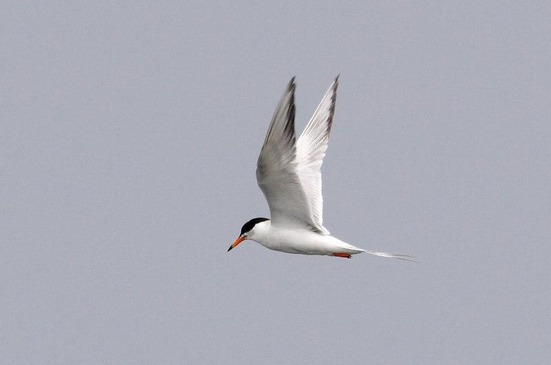 Common? Tern.