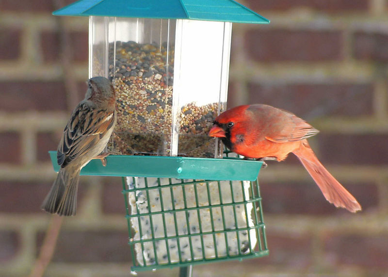 Get off my feeder. Feisty Cardinal.