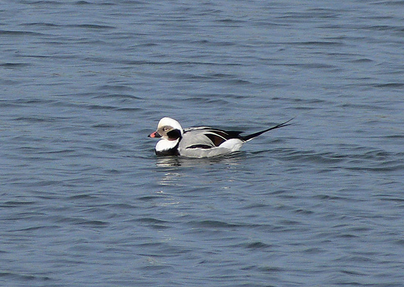 Long-tailed Duck, a/k/a Oldsquaw, Male.