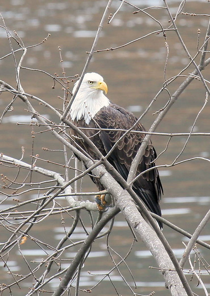 Bald Eagle on the Delaware River near the mouth of 10 Mile River.