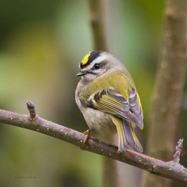 "Golden-crowned Kinglet, Regulus satrapa, at my backyard bird feeder in Gig Harbor, WA.  With poses like this I wonder why the person that originally named these birds called them KINGlets.  These tiny birds(about 3.5"" long) don't usually come to bird feeders (they are insect eaters) but I guess with all the commotion he had to see what was happening in his relm."