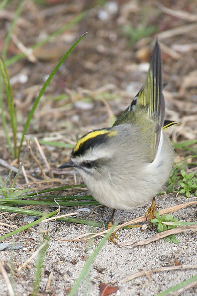 Golden Crowned Kinglet.