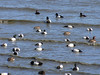 "Scaups ""snorkeling"" in Little Neck Bay."