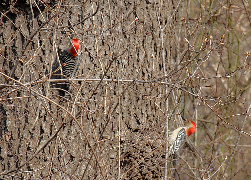 Red bellied Woodpeckers