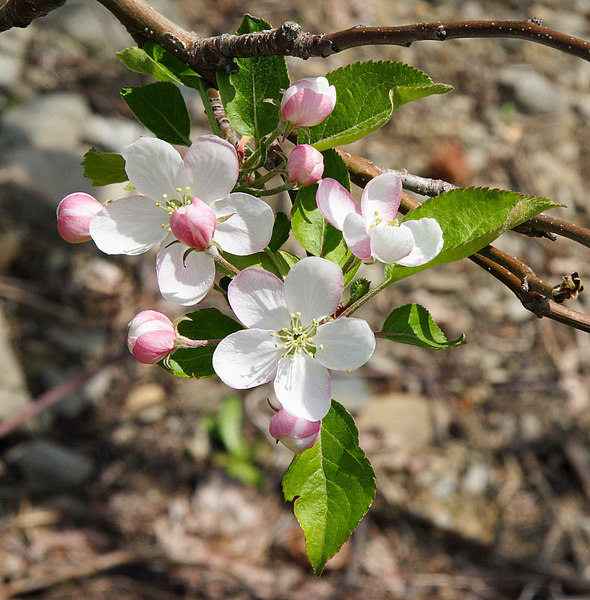 Orange County Apple blossoms.