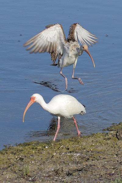 Mature and immature White Ibis