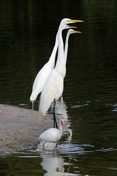 White Ibis and Great Egrets
