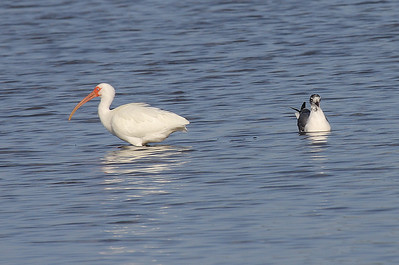 White Ibis and Juvenile Laughing Gull