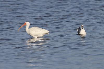 White Ibis and Juvenile Laughing Gull