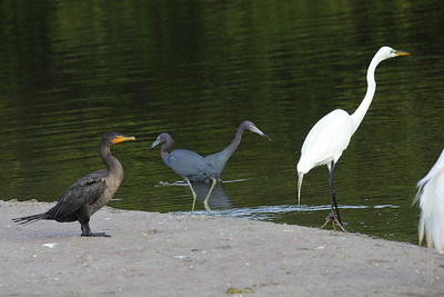 Double Crested Cormorant, Little Blue Herons and Great Egret