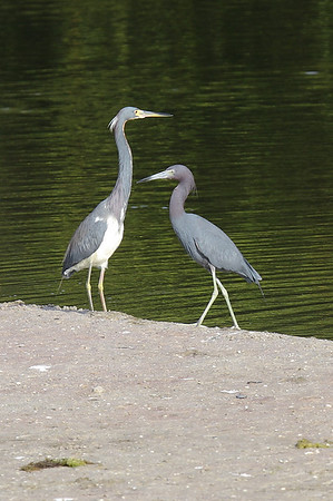 Tri Colored and Little Blue Herons