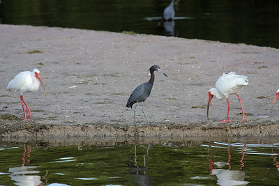 White Ibises and Little Bluoe Heron
